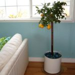 wonderful-nice-adorable-fresh-orange-tree-with-nice-white-round-indoor-tree-planter-box-made-of-metal-with-white-coloring-design