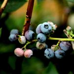 blueberry as one of the most favorite birds' foods
