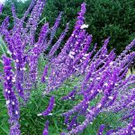 Purple Perennials For Zone 7 Salvia For Home Garden Ideas