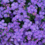 awesome purple low growing flower idea like dandelion with beautiful outlook