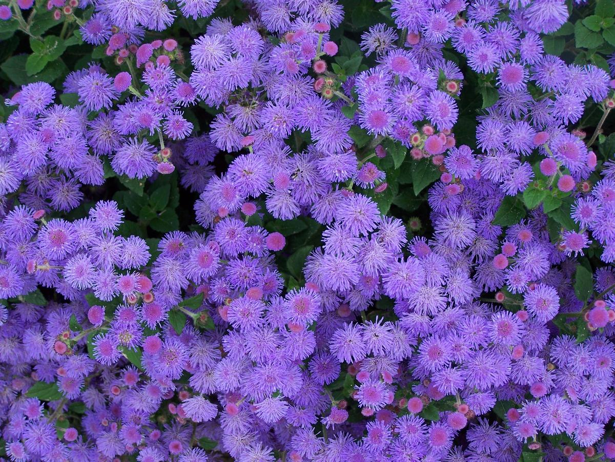 Some beautiful color low growing flowers that you must add to the awesome purple low growing flower idea like dandelion with beautiful outlook izmirmasajfo
