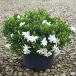 beautiful white potted low growing flower in black pot and stone patio with green leave