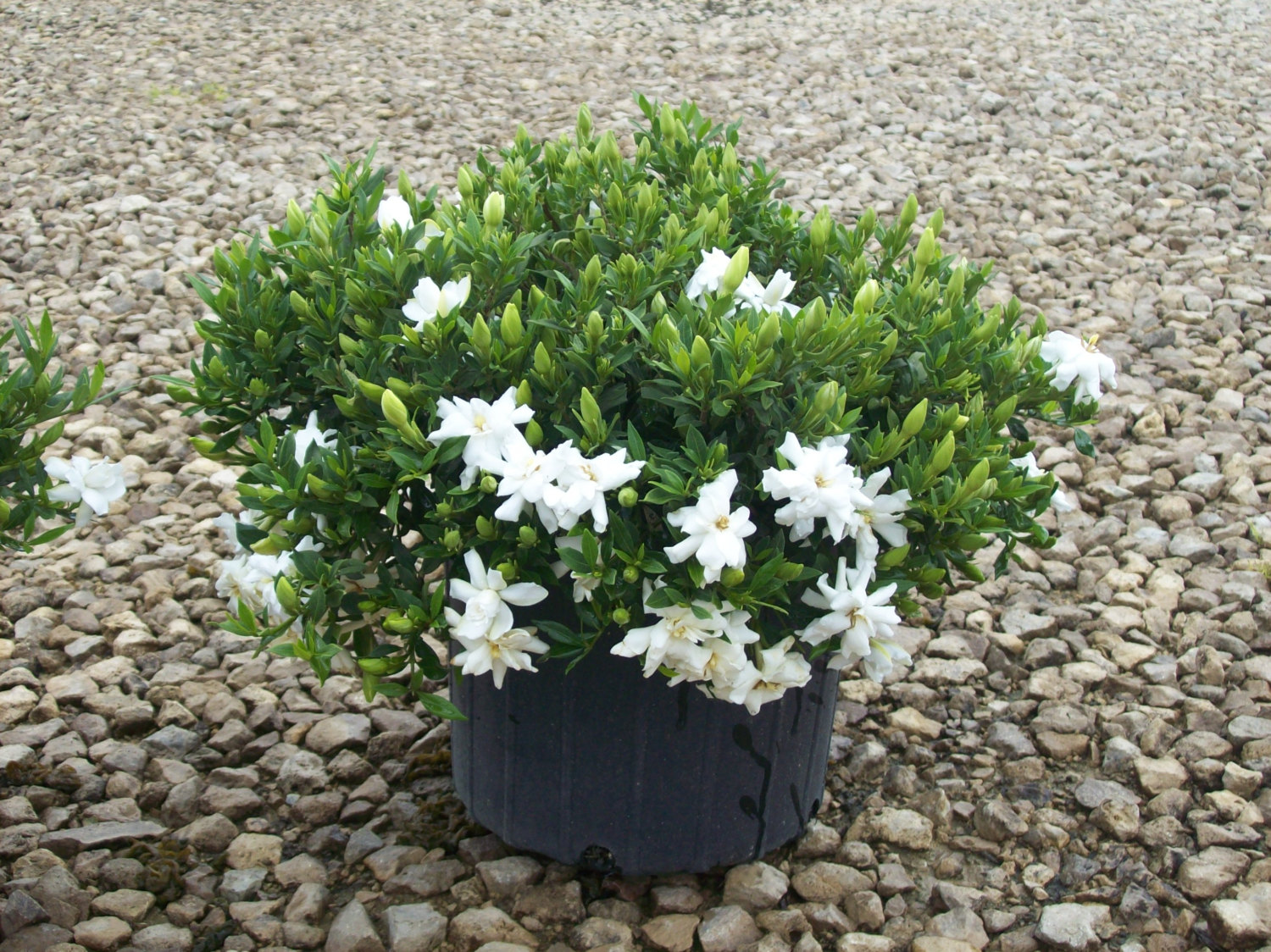 Some beautiful color low growing flowers that you must add for Gardenia home