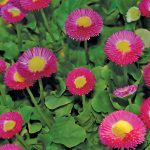 cute pink low growing flower design with yellow nucleus and smooth green leave