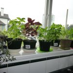 herb garden windows for kitchens planted on black pots above the kichen sinks