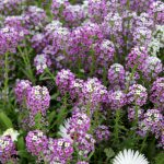 semi purple and pink low growing flower design with long steam