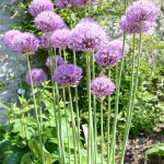 sweet purple low growing flower design with long  steam in the middle of lush vegetation