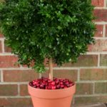 unique orange boxwood topiary balls design with red brick wall and wooden table top