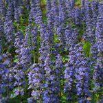 unique purple lavender low growing flower idea in spacious flower garden