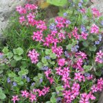 wonderful pink low growingflower design on patio with green leave and grass