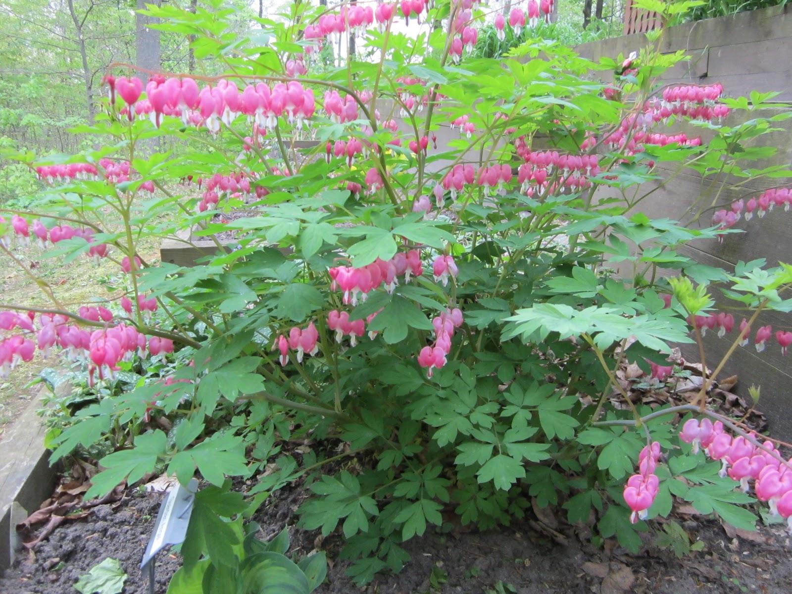 Perennial Plants For Shade Homesfeed