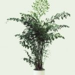 Burmese-Fishtail-Palm-(Caryota mitis)-The-shape-of-the-leaves-is-unique-and-it-grows-up-to-6'-tall-indoors