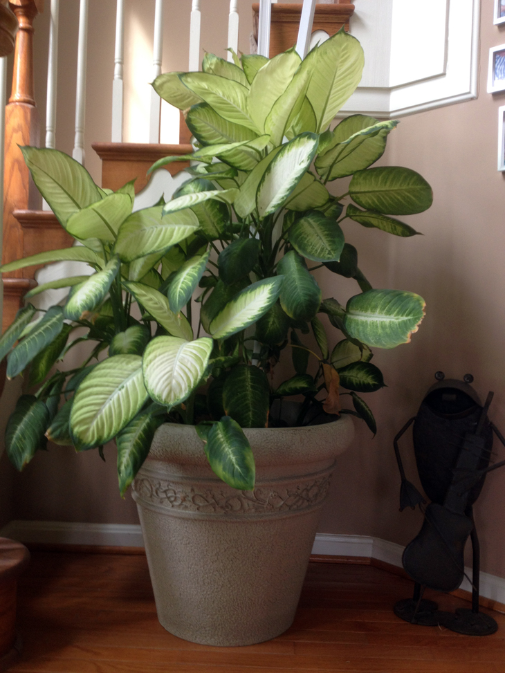 Tall house plants for indoor the most recommended ones homesfeed - Plants for the house ...