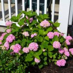 Adorable Soft Pink Endless Summer Hydrangeas For Black Mulch Garden Beneath White Wooden Fence