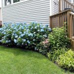Blue Endless Summer Hydrangeas For Daily Garden Maintenance With Grassy Meadow With Wooden Stairs