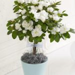 coll-and-elegant-azalea-for-indoor-plants-in-soft-blue-pot-with-white-strings-ribbon-near-the-white-door-and-white-wall-also-on-white-floor