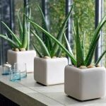 cool-elegant-aloe-vera-for-indoor-plants-with-white-square-and-white-table-near-big-glass-windows