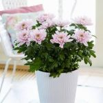 elegant-cool-pink-chryshantymum-in-white-pot-and-glass-table-also-white-chair-with-soft-pink-pillow-near-windows