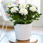 elegant-cool-white-chryshantymum-in-white-pot-and-glass-table-also-white-chair-with-soft-blue-pillow-near-windows