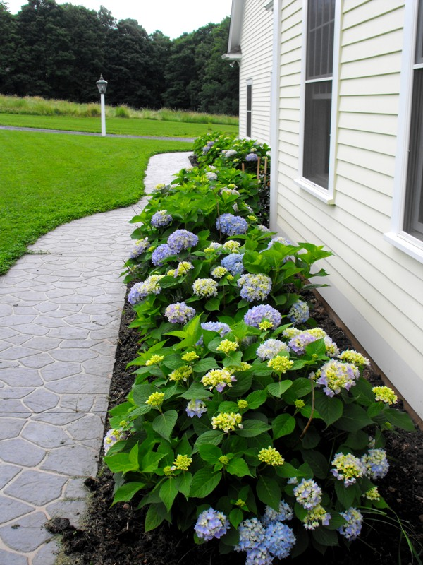 How To Sweet Your Home Garden With Endless Summer Hydrangeas Homesfeed