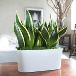pretty-and-strong-snake-plant-for-home-office-or-other-rooms-perfectly-good-for-air-cleaner-and-looks-nice-with-white-container-and-on-wooden-table