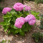 Simple Pink Endless Summer Hydrangeas Design With Green Leaves On Strawed Ground For Natural Garden