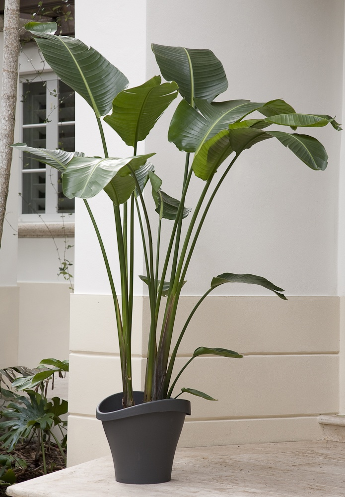 tall decorative plant on black pot as terrace decoration - Tall House Plants