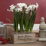 Chic shabby wood plant box with white bulb plants