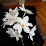 Fresh white bulbs as interior decorative plant