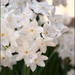 Pretty white bulbs