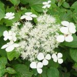 Anomala White Hydrangea Varieties With Green Leaves