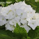 Beautiful White Hydrangea Varieties