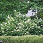 Cool Large Flowering Bushes With White Appearance