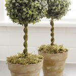 Double Real Topiary Trees WIth Round Shape And Pretty Pots