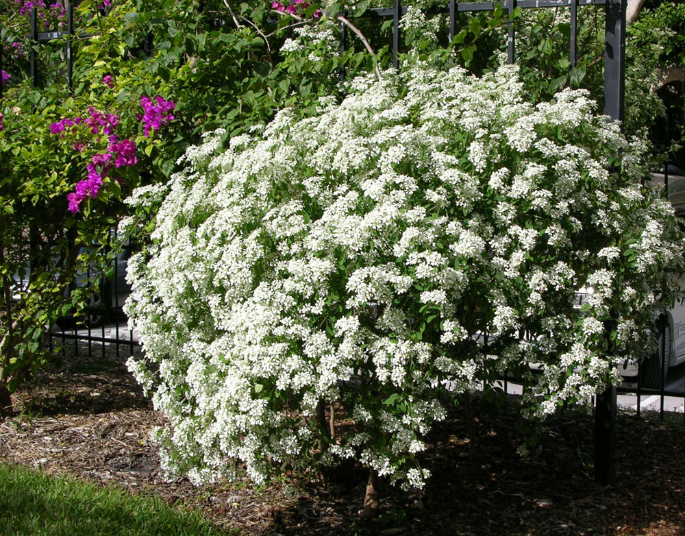 Small white flower shrub garden inspiration for Large bushes for landscaping