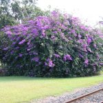 Light Purple Of Big And Large Flowering Bushes