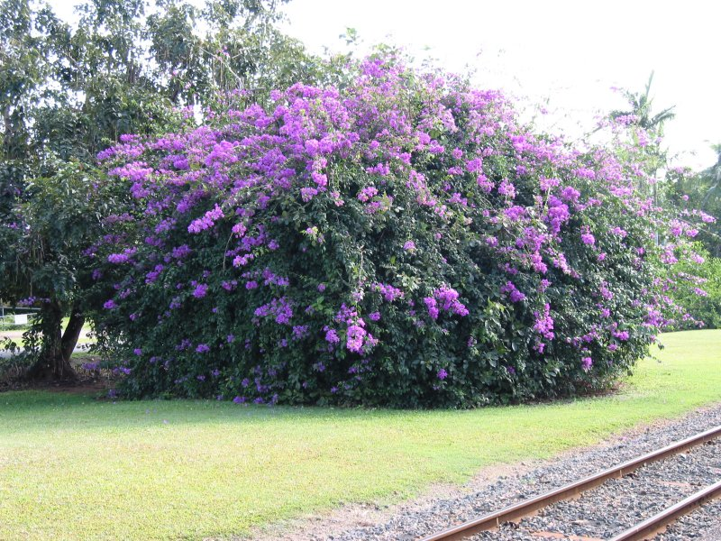 Light Purple Of And Large Flowering Bushes