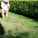 Mole control by using poisons and tunnel traps