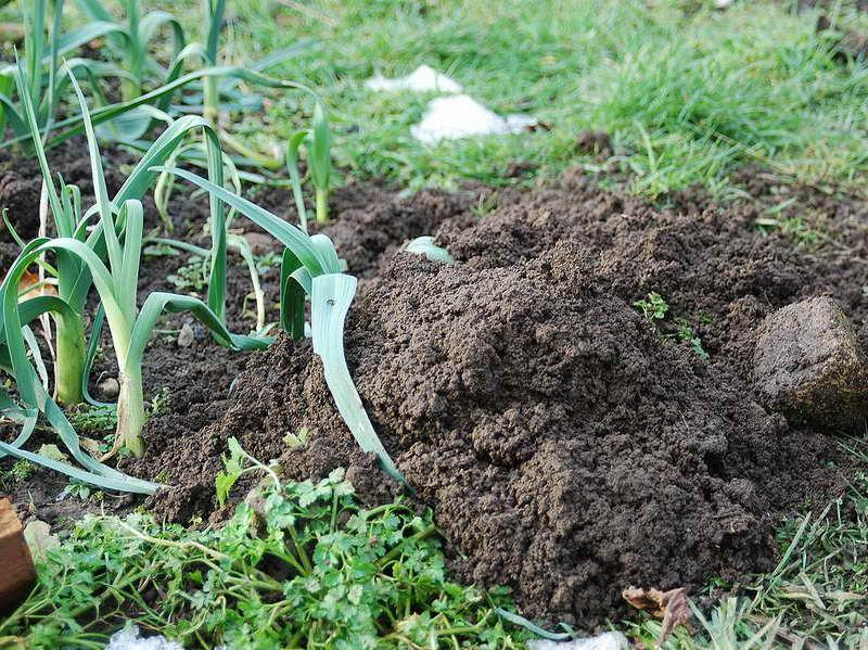 How Getting Rid Of Moles In Gardens Or Yards Homesfeed
