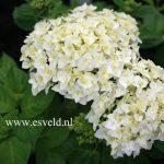 Perfect White Hydrangea Varieties For Garden