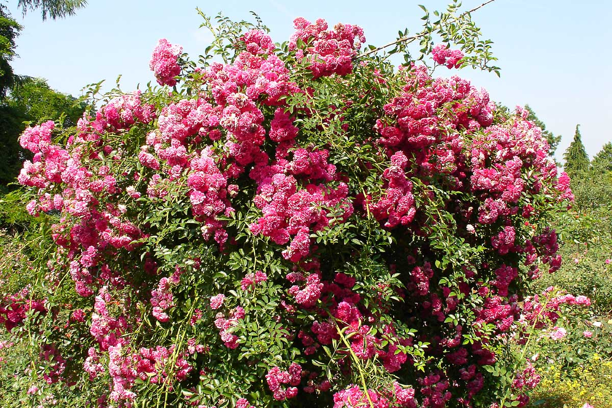 Beautiful Large Flowering Bushes | HomesFeed