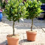 Small Outdoor Double Real Topiary Trees