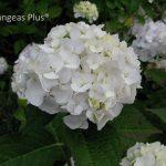 Small White Hydrangea Varieties Flower