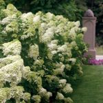 White Hydrangea Varieties For Front Garden