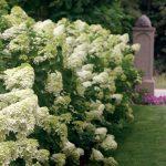 White Hydrangea Varieties For Front Garden