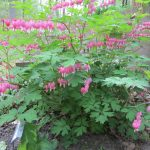 Bleeding Hearts Green Plants