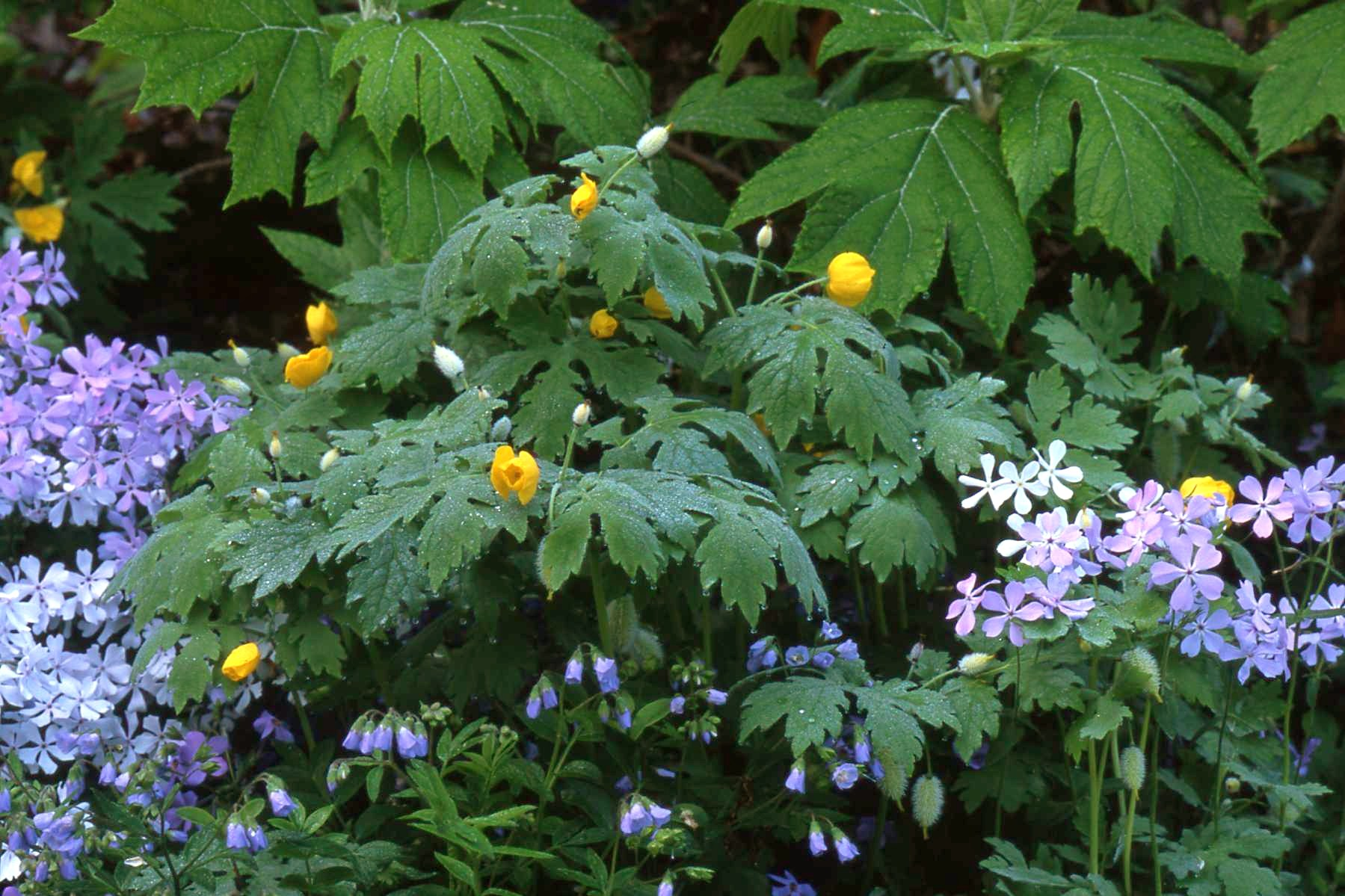 natural perennial plants for shade  homesfeed, Natural flower