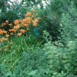 Orange Lilies For Shade Plants