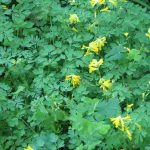 Yellow Corydalislutea