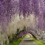 asphalt road arched dark brown wood trellis beautiful garden entrance in japan white and purple hanging flowers green grass landscape